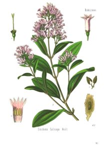 Cinchona_calisaya_-_Köhler–s_Medizinal-Pflanzen-179