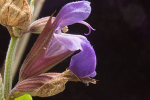 Salvia_officinalis_Closeup