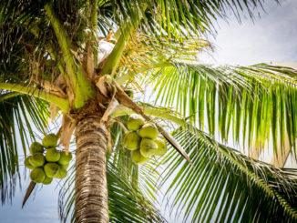 עץ קוקוס עם פרי